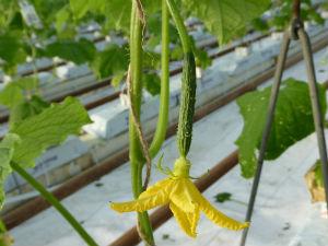 Concombre cultivé en lutte intégrée contre les bio-ravageurs