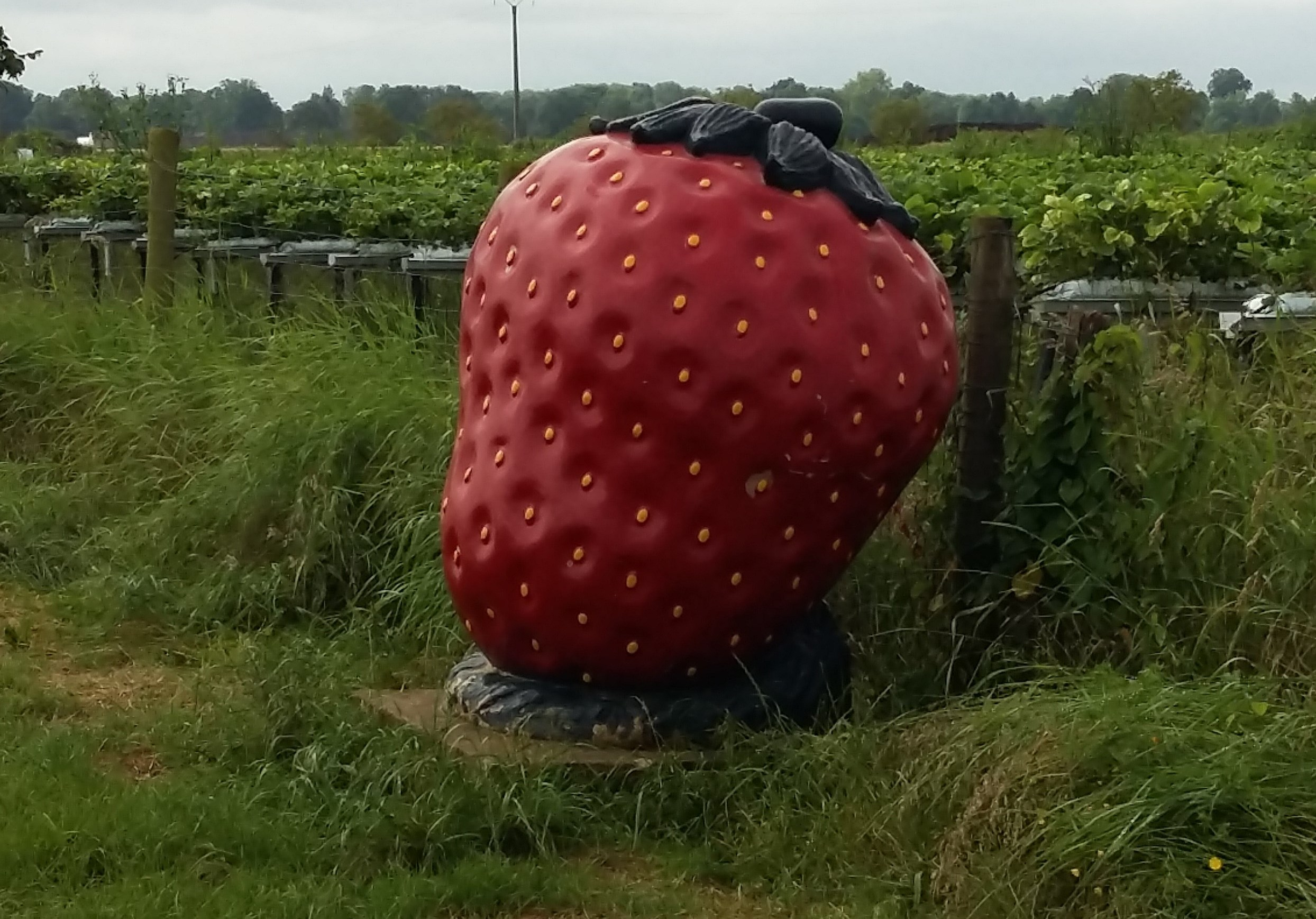 fraise rognee